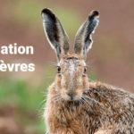 Suivi population des lièvres